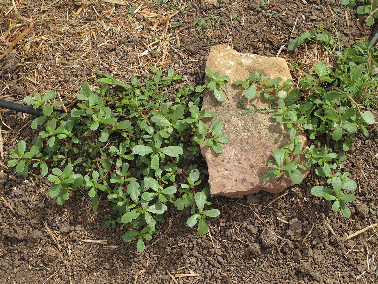 purslane growing on the veggie patch in Murtal, 2011